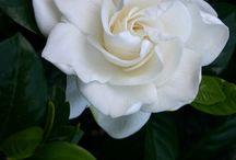 photos of gardenias