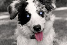 boder collie merle