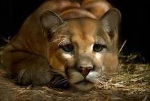 Pumas  / by Gisela Sedlmayer