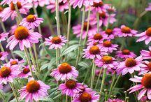 Plantes - Equinacea