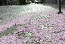 Kirschblüte Bonn / Our famous cherry blossom street in Bonn, Germany www.kirschbluete-bonn.de
