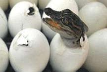 Tiere: Krokodile