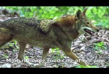 North America - Red Wolf / These members of the dog family are a bit larger than coyotes and smaller than gray wolves and are found only in extreme northeastern North Carolina.  Unfortunately, they are critically endangered,