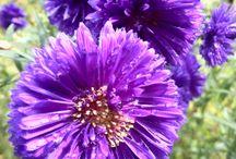 vendangeuses / Fleurs