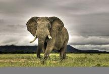 ANIMAL • Elephant