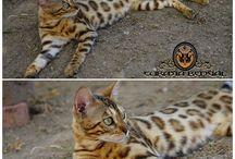 Eurasiabengal cattery