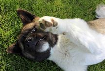 Animals & my dogs- Akitas / I will have a farm... Once