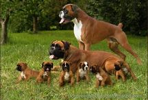 Boxer love / Boxer dogs / by Tish Odom