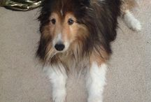Sheltie form of Dog / I just lost my first fur baby Sheltie, Caleb and now have a new baby, Carson. Posts on how to tame the wild beastie. / by Darcie Gudger