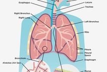 Respiratory system / How your respiratory system works