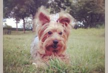 Billy The Yorkie