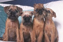 """Brussels Griffon ( You may see my Brussels Griffon at (""""Old World Accents"""")"""