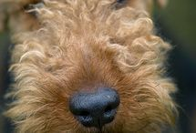 Airedales / Pictures of Airedale Terriers