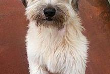 Adopt a Tibetan Terrier