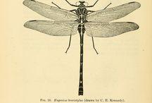 Odonates - Odonata