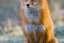 Fooox :3