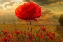 Poppies ♥♡♥
