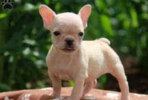French Bulldog Puppies and Dogs
