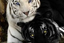 tigrisek!