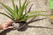 Comment plante l'aeova