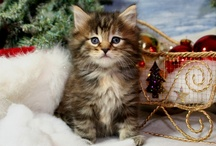 Christmas Cats / Cats & kittens Christmas art, illustrations, photos, postcards, greeting cards, etc... / by dachweiler