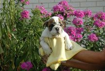 Dogs and Puppies / Dogs and Puppies for sale in UK