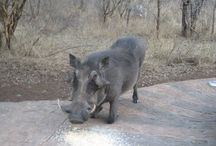 Warthog's / Warthog's that have been spotted.