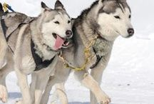 Iditarod unit / by Stephanie
