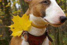 Bull Terrier - Cuteness Overload