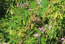 Butterflies in Central Park