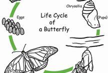 rozwój motyli