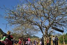 Moc Chau New Year Festival / Experience New Year festival of the ethnic H'mong group,  is held for first three days of the 12th month of the lunar calendar. Festival is followed by the festival season which will last until the 15th day of the first lunar month.
