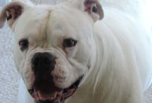 Best Friends / I love my dogs.  This board is dedicated to my pets Dillon my 100 lb. American Bulldog and my 8 lb. Maltese Sammie.  This board celebrates the best friends of women and men - our dogs Roof