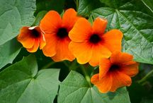 THUNBERGIA / Varieties and Colours