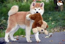 Akita dog / Japanese AKITA inu dog