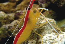 camarões marinhos