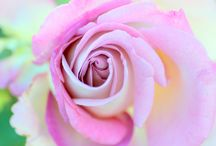 A Rose is a Rose / Beautiful pictures of roses.