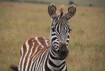 Safari / Une approche au plus près de la faune, immergé en pleine nature. Les observations animalières et les randonnées rythment la journée. Vous savourez confortablement l'Afrique.