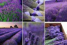 Luscious Lavender Fields
