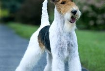 Wire haired terriers