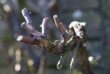 Viininkasvatus rypäleiksi / Oman puutarhan kasvit