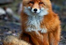 aa Foxes