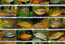 Rainbowfishes