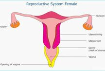 Female Reproductive System / The female reproductive system (or female genital system) contains two main parts: the uterus, which hosts the developing fetus, produces vaginal and uterine secretions, and can pass sperm through to the Fallopian tubes; and the ovaries, which produce the female's egg cells