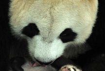 Pandy a iné medvede