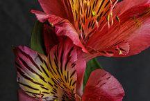 Inka liliom