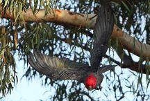 """Callocephalon / Genere di cacatua monospecifico, proveniente dalle aree sud-orientali del continente australiano. Uccello arboricolo, con caratteristiche che richiamano molto quelle degli cacatua neri. """"Callocephalon"""" in greco significa infatti """"bella testa""""."""