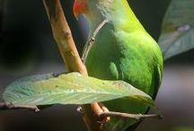 Loriculus / I loriculus sono dei pappagallini di piccola taglia che abitano le fitte foreste dell'arcipelago indonesiano. A questa famiglia di psittacidi appartengono 10 specie differenti.  http://www.pappagallinelmondo.it/loriculus.html