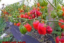 Hot Pepper Pics / Hot pepper pics from my gardens