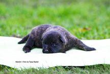 Belgische und Holländische Schäferhunde vom Diensthundezwinger